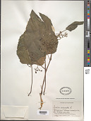 view Cissus verticillata (L.) Nicolson & C.E. Jarvis digital asset number 1