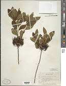 view Rhododendron periclymenoides (Michx.) Shinners digital asset number 1