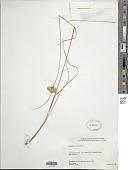 view Eriophorum virginicum L. digital asset number 1