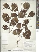 view Homalium racemosum Jacq. digital asset number 1