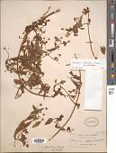 view Calceolaria atahualpae subsp. atahualpae digital asset number 1