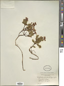 view Phyllodoce caerulea (L.) Bab. digital asset number 1