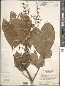 view Hevea brasiliensis (Willd. ex A. Juss.) Müll. Arg. digital asset number 1