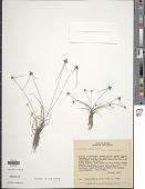 view Cyperus lipomexicanus Goetgh. digital asset number 1