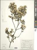 view Ageratina calaminthaefolia (Kunth) R.M. King & H. Rob. digital asset number 1