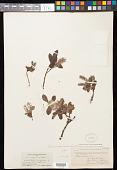 view Salix anglorum Cham. digital asset number 1
