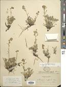 view Artemisia trifurcata Steph. ex Spreng. digital asset number 1