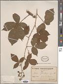view Rubus questieri Lefèvre & P.J.Müll. digital asset number 1