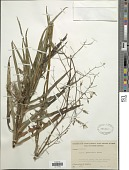 view Lactuca graminifolia Michx. digital asset number 1