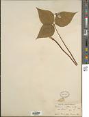 view Trillium undulatum Willd. digital asset number 1