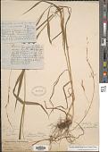 view Melica smithii (Porter ex A. Gray) Vasey digital asset number 1