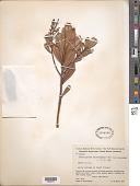 view Poecilandra sclerophylla Ule digital asset number 1
