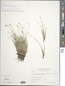 view Carex capitata L. digital asset number 1