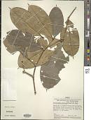 view Calyptranthes densiflora digital asset number 1