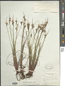 view Sisyrinchium campestre E.P. Bicknell digital asset number 1