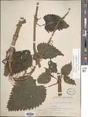 view Urtica dioica subsp. gracilis L. digital asset number 1