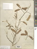 view Piptadenia flava digital asset number 1