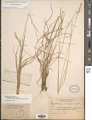 view Danthonia sericea Nutt. digital asset number 1
