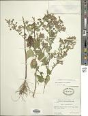 view Symphyotrichum cordifolium subsp. cordifolium (L.) G.L. Nesom digital asset number 1
