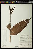 view Heliconia hirsuta L. f. digital asset number 1