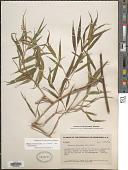 view Lasiacis divaricata (L.) Hitchc. digital asset number 1