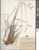 view Paspalum longifolium Roxb. digital asset number 1