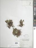 view Selaginella convoluta (Arn.) Spring digital asset number 1