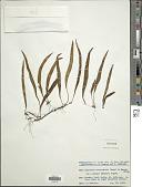 view Lepisorus ussuriensis (Regel & Mack.) Ching digital asset number 1