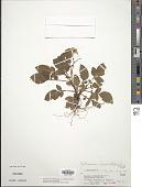 view Solanum chomatophilum Bitter digital asset number 1
