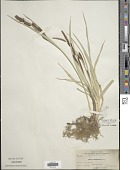view Carex nebrascensis Dewey digital asset number 1