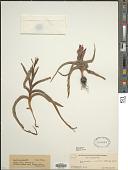 view Baeometra uniflora (Jacq.) G.J. Lewis digital asset number 1