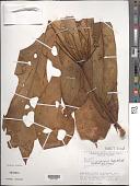 view Anthurium clavigerum Poepp. & Endl. digital asset number 1