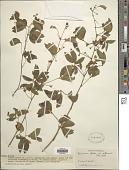 view Mimosa albida var. willdenowii digital asset number 1
