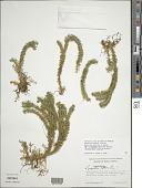 view Huperzia serrata (Thunb.) Rothm. digital asset number 1