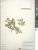 view Fagonia latifolia Delile digital asset number 1