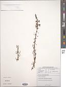 view Diascia veronicoides Schltr. digital asset number 1