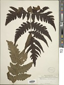 view Tectaria coadunata (J. Sm.) C. Chr. digital asset number 1