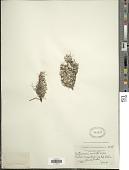 view Antennaria rosulata Rydb. digital asset number 1