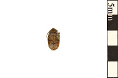 view Bean Weevil, Seed Beetle digital asset number 1