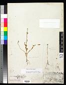 view Portulaca umbraticola subsp. lanceolata (Engelm.) J.F. Matthews & Ketron digital asset number 1
