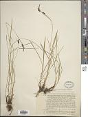 view Carex ferruginea Scop. digital asset number 1
