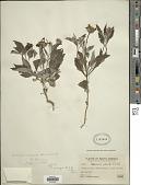 view Onoseris odorata (D. Don) Hook. & Arn. digital asset number 1