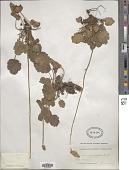 view Heuchera ovalifolia Torr. & A. Gray digital asset number 1