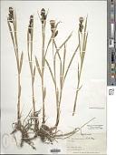 view Carex macrochaeta C.A. Mey. digital asset number 1