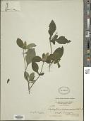 view Teliostachya alopecuroidea (Vahl) Nees digital asset number 1