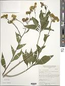 view Verbesina persicifolia DC. digital asset number 1