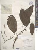 view Pisonia brunoniana Endl. digital asset number 1