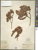 view Rhododendron siderophyllum Franch. digital asset number 1