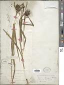 view Carex grayi J. Carey digital asset number 1