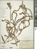 view Anchusa ochroleuca M. Bieb. digital asset number 1